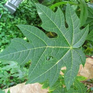 manfaat daun pepaya untuk kesehatan