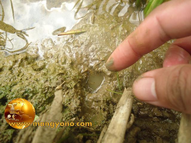 FOTO : Memastikan liang/lubang belut dengan di colok menggunakan jari