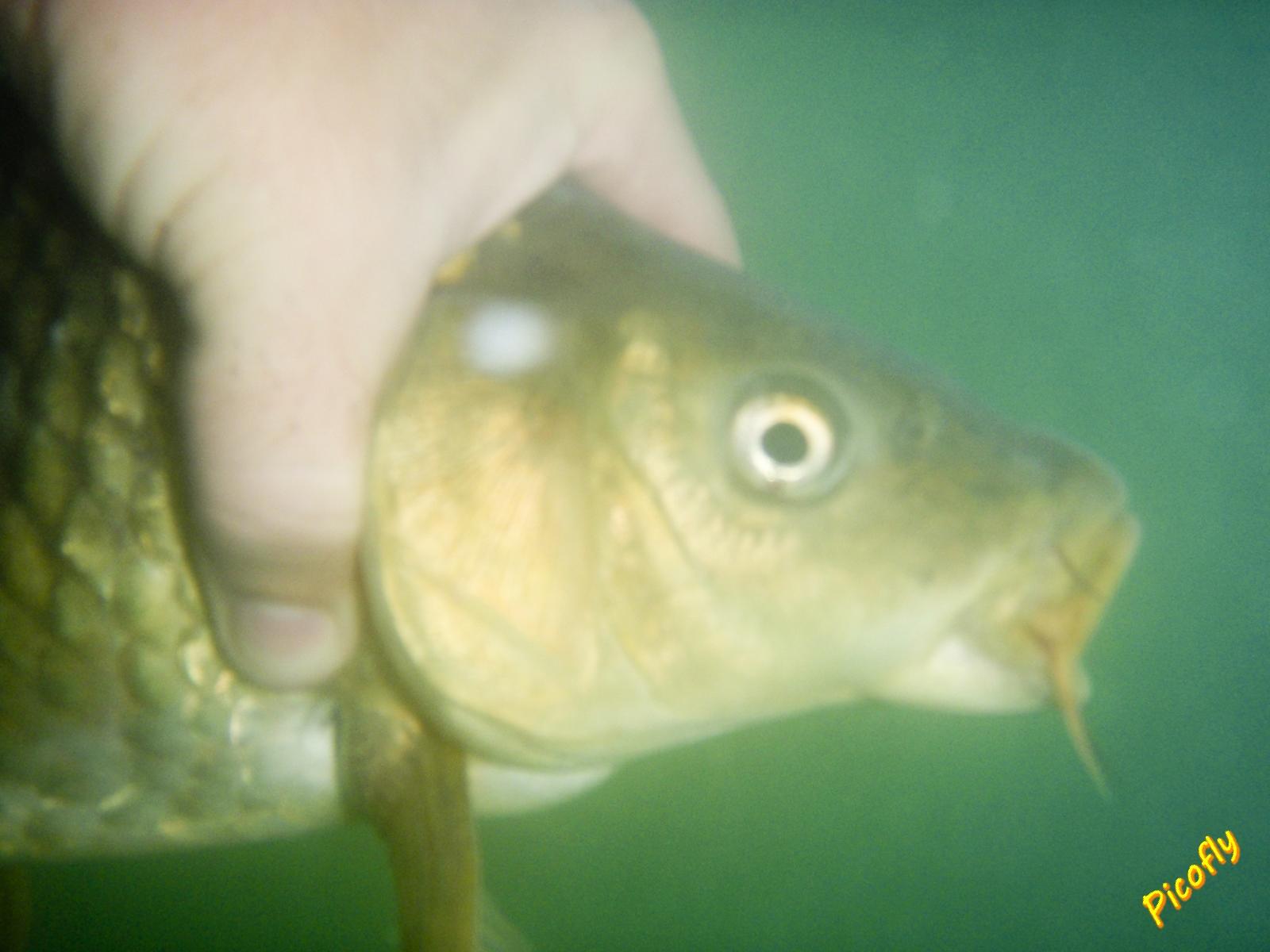 PESCA A MOSCA CON PICOFLY: Día de levante, pesca en Arcos.