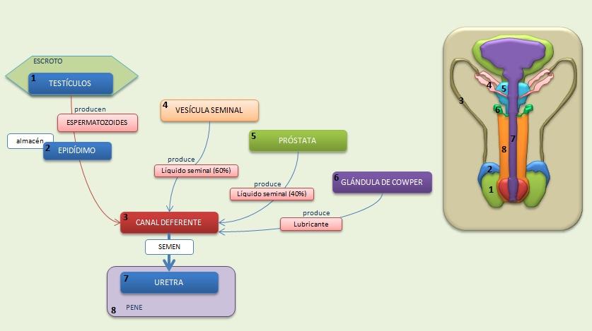 Aparato Reproductor Masculino | Esquemas, diagramas, gráficos y ...