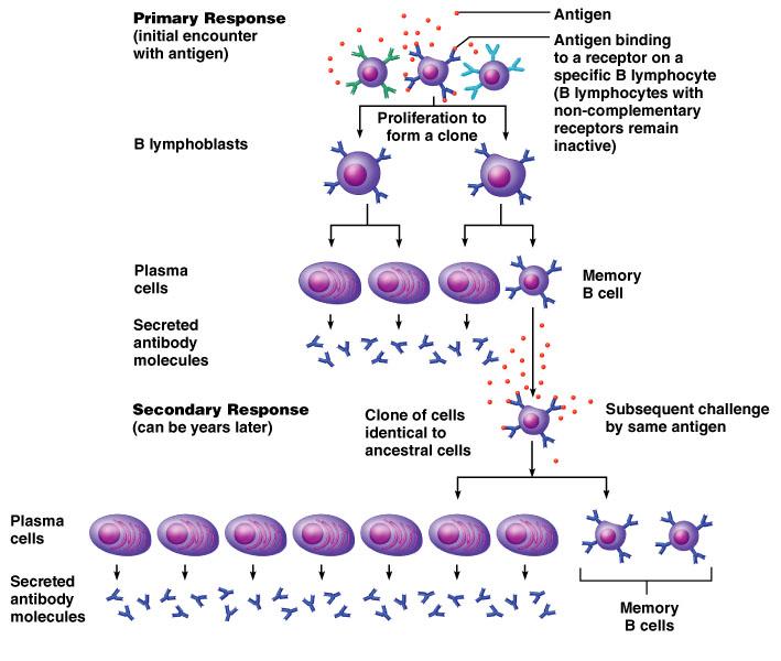 what do plasma b cells do lenovo
