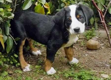 Greater Swiss Mountain Dog Puppy Mr. Puppy Pictures