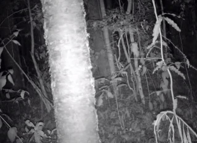 New Footage Possible Yowie on Tree Cam