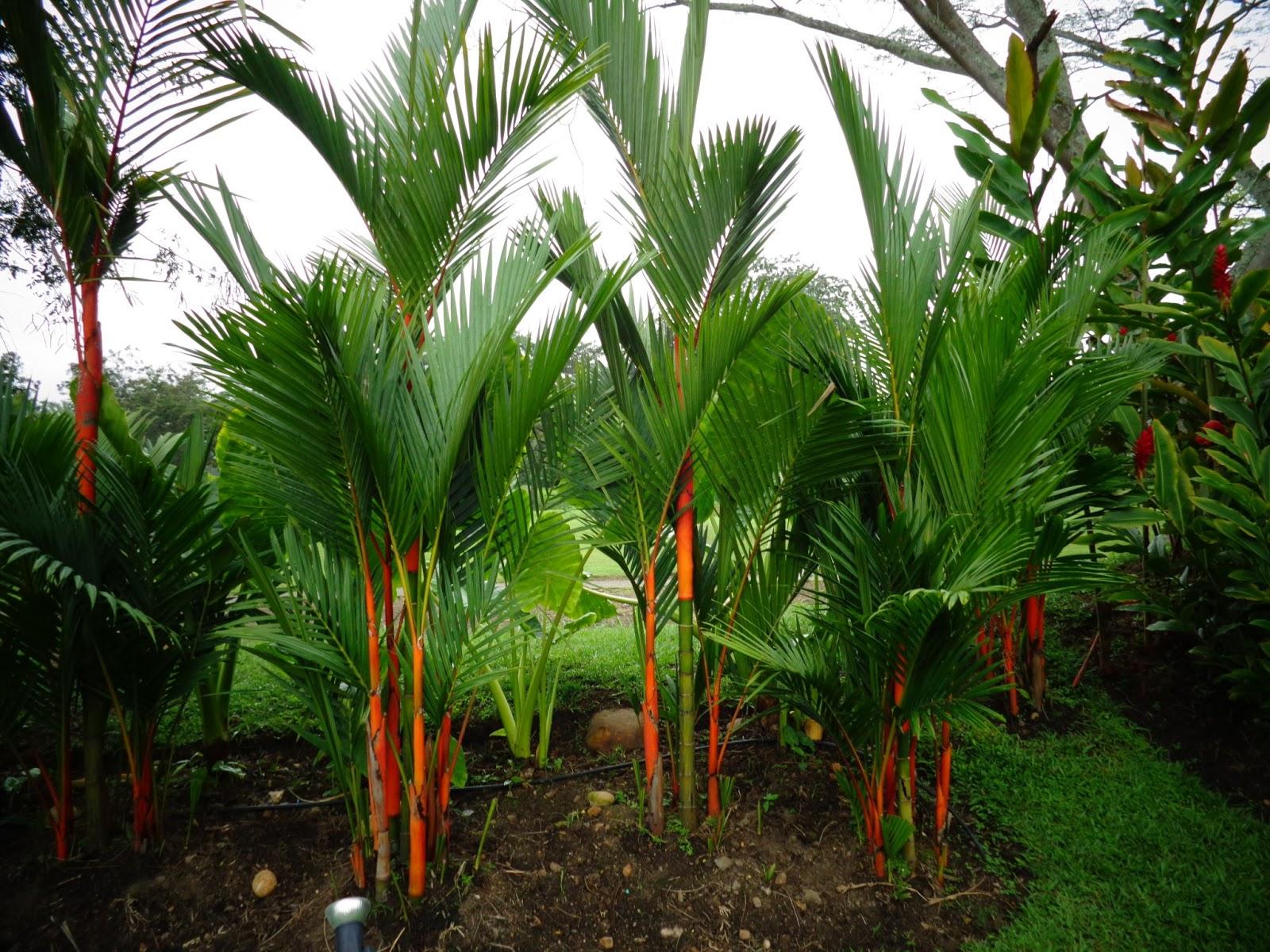 Vivero san antonio apulo cundinamarca colombia palma for Viveros en colombia