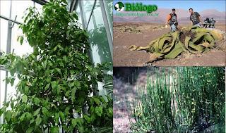 gnetophyta gimnosperma ephedra