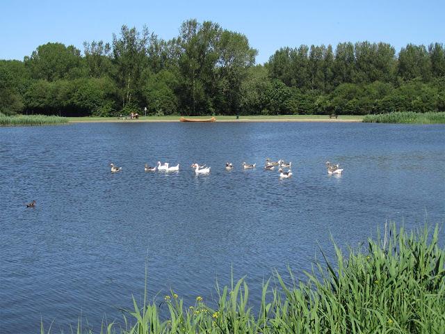 geese at 'Vlietland'