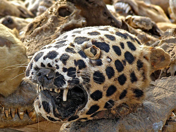 leopard head on voodoo fetish market