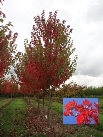Autumn Blaze Maple Tree4