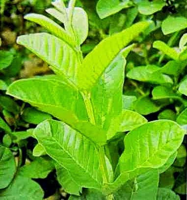 kaymito mouthwash Is kaymito leaves decoction can be effective mouthwash • is the peppermint that  contains essential oils can be effective in neutralizing mouth.