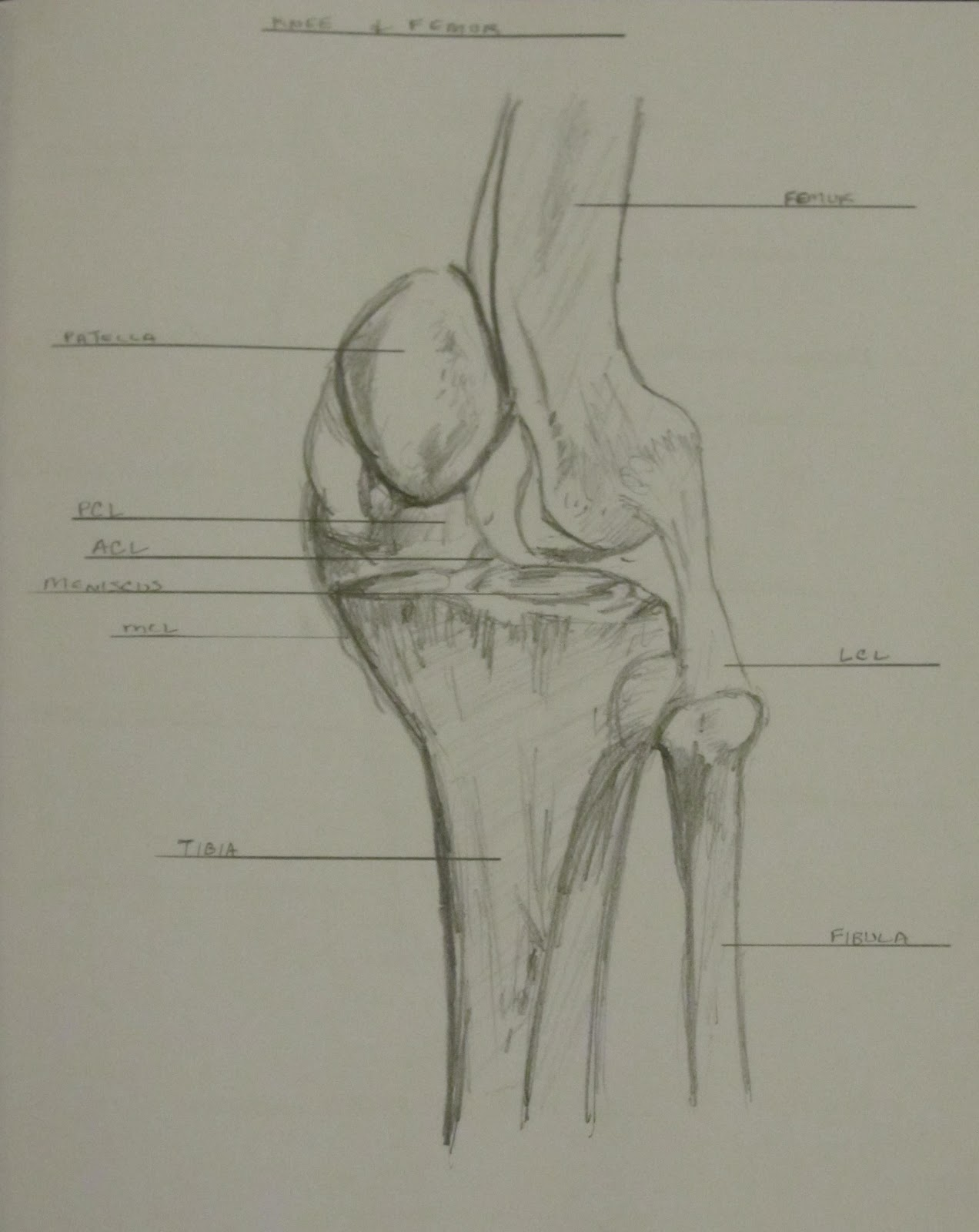 knee+joint+and+tibia art school confidential summer quarter 2012 drawing & anatomy