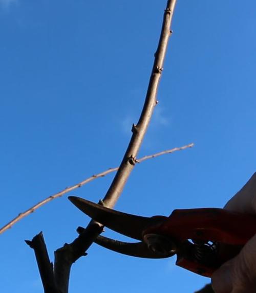 Les secrets de la taille et de la greffe des arbres fruitiers bio calendrier gratuit pour les - Quand tailler les abricotiers ...