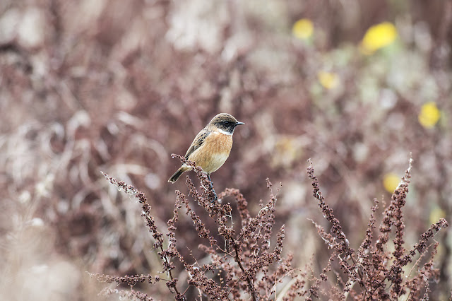 My best Stonechat photo