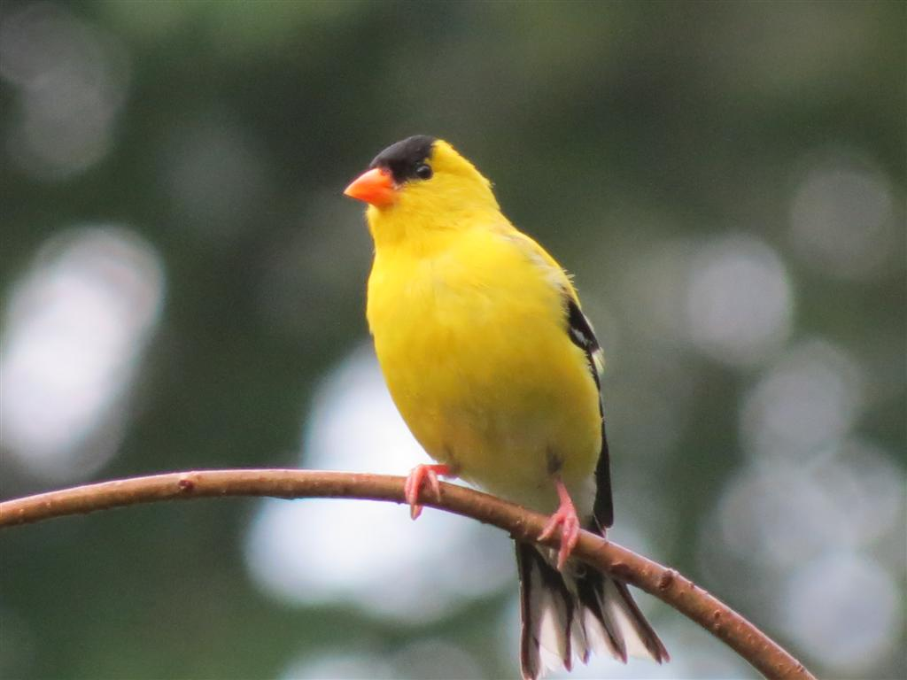 identify features of yellow bird which Improving your bird identification skills will lead to greater enjoyment of the birds around you once you can identify most of the birds you see and hear, you can support various citizen science programs or even become a researcher or professional ornithologist.
