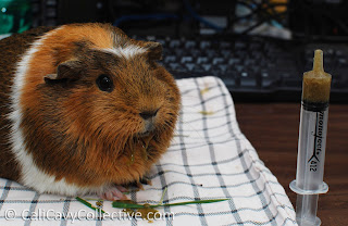 guinea pig Critical Care