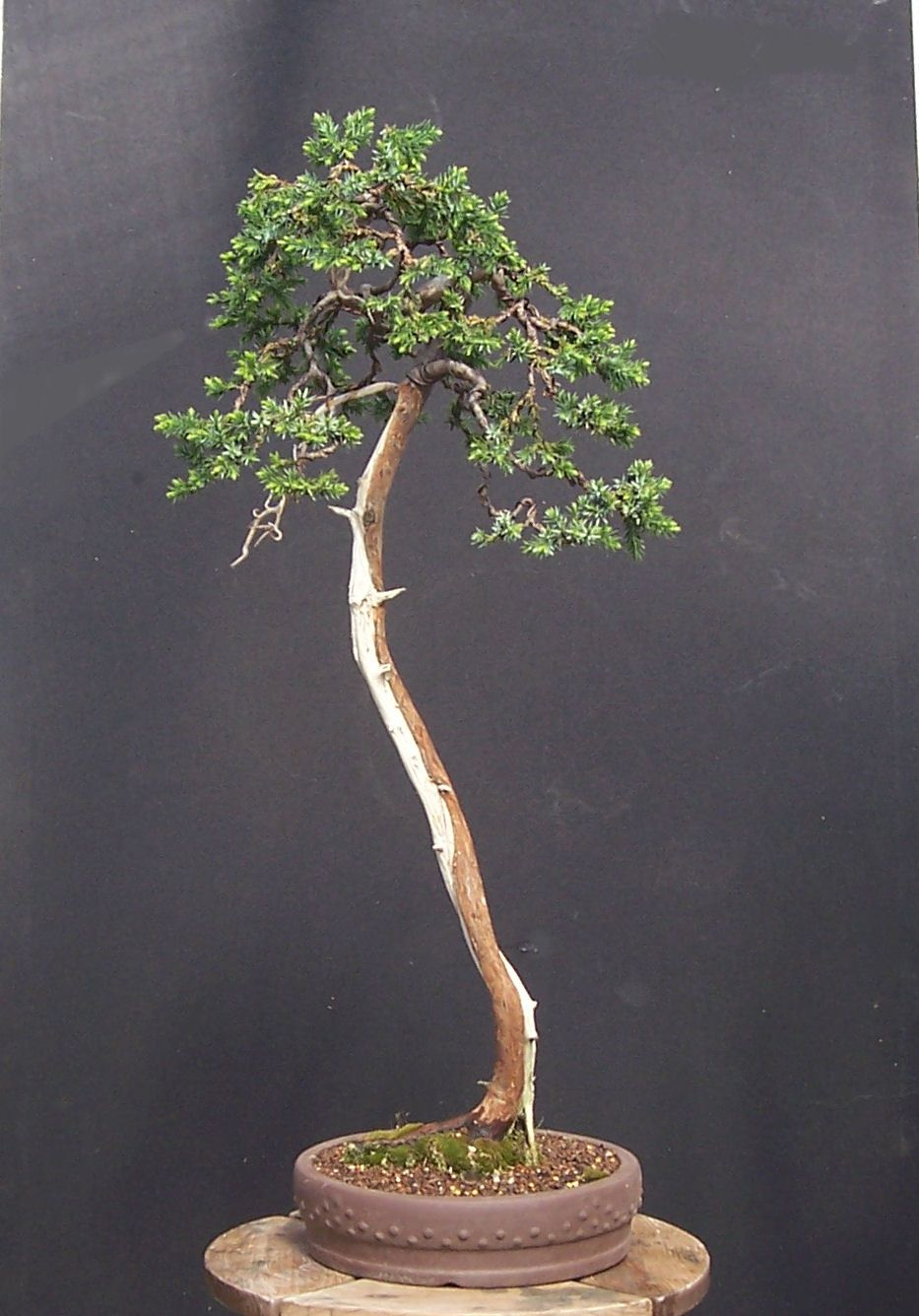 Miko bonsai gallery of my bonsai for Literati bonsai gallery