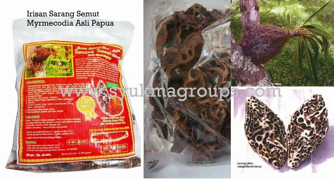 Sarang Semut Myrmecodia Asli Papua