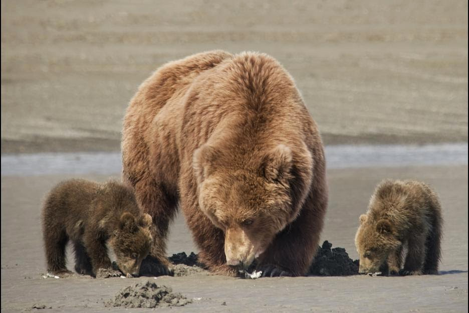three bears digging for clams