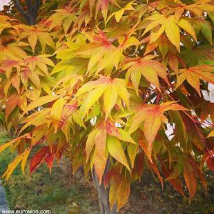 Hojas naranjas del otoño coreano