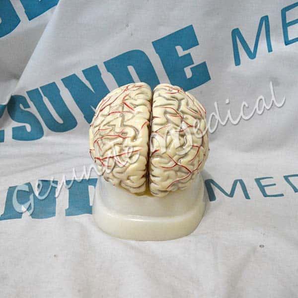agen anatomi otak