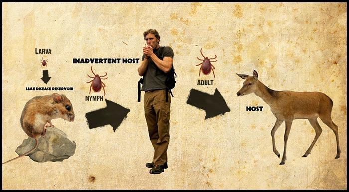 Lyme disease Ecology