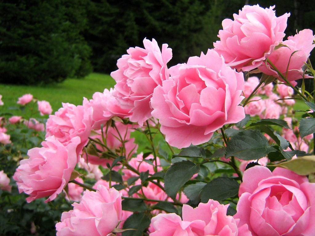 de cuidados para cultivar rosas no jardim ou em vaso  Verde em Folha