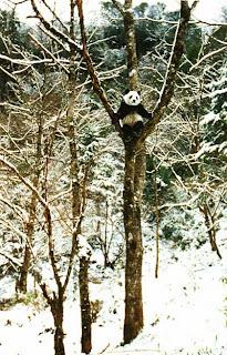 Гигантская Панда. Панда на дереве