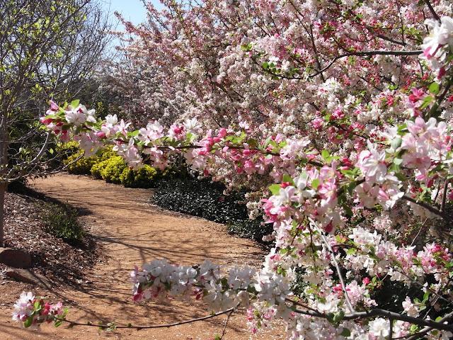 Flowering Cherry Trees, Japanese Garden, Dubbo
