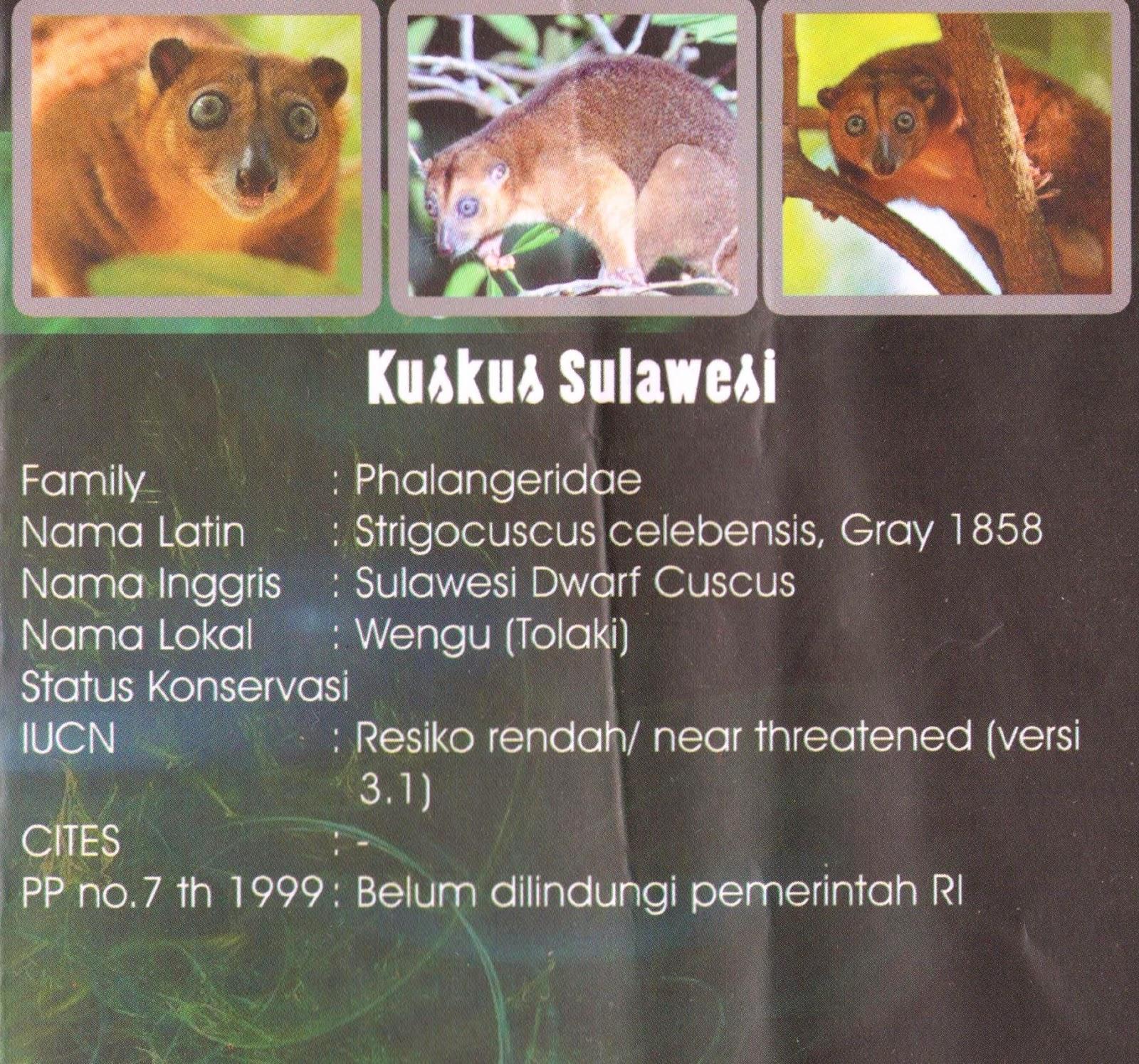 Kuskus Sulawesi