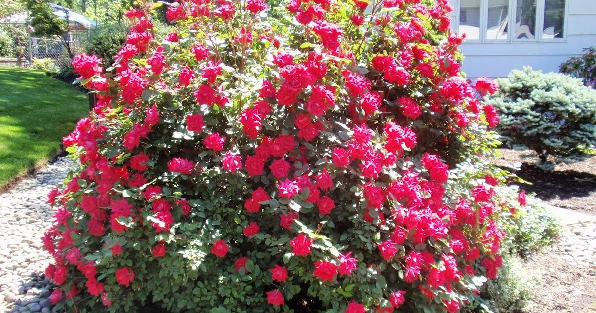 little trick when moving mature rose bush
