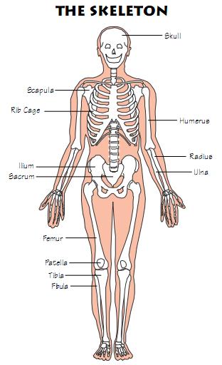 Amazing Bone Facts