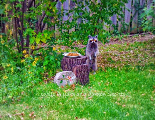 take drastic measures to remove the raccoons from my yard and garden