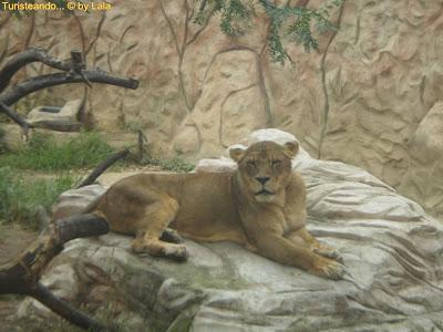 Leones Zoo Ayamonte, Huelva
