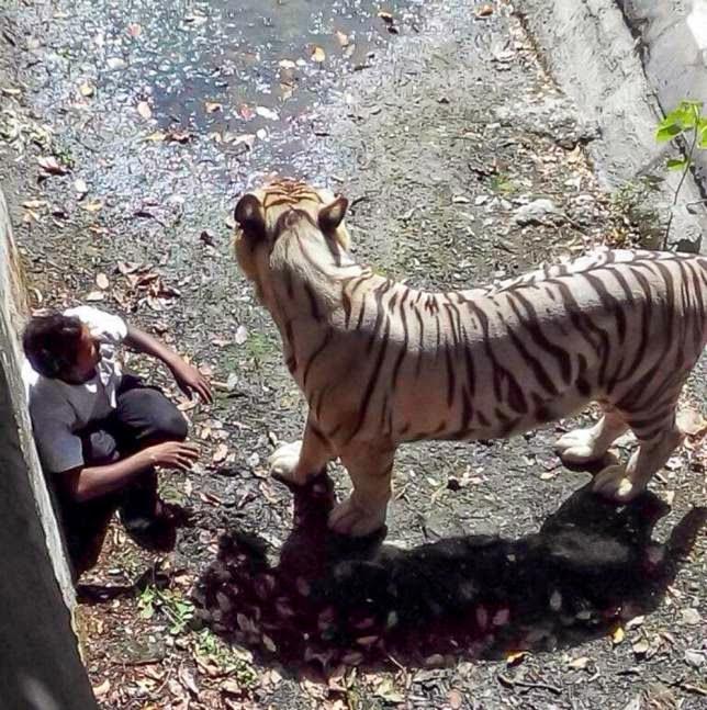 белый тигр зыгрыз человека прошлом