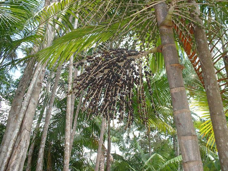 Fruit Warehouse: Açaí palm ( Euterpe oleracea )