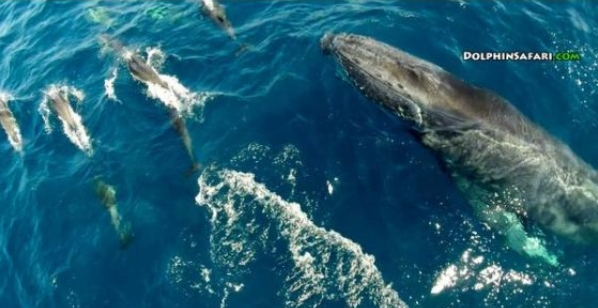 Rare Footage Captures Playful Dolphin Pod Surfing With A Humpback Whale (VIDEO)