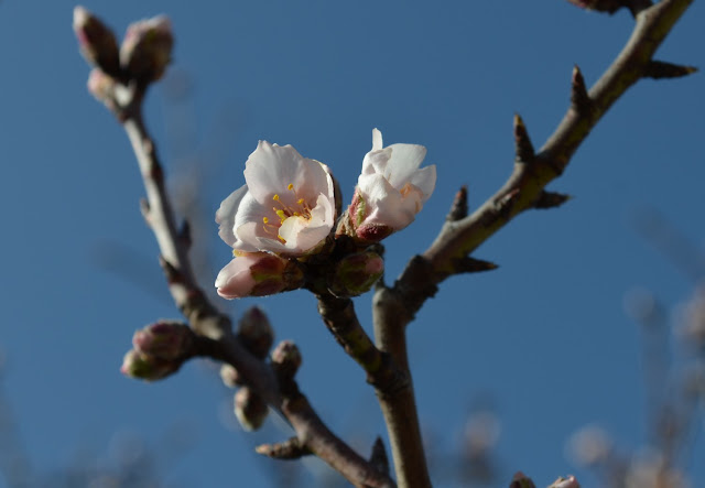 Wild Almond trees blossom in Provence