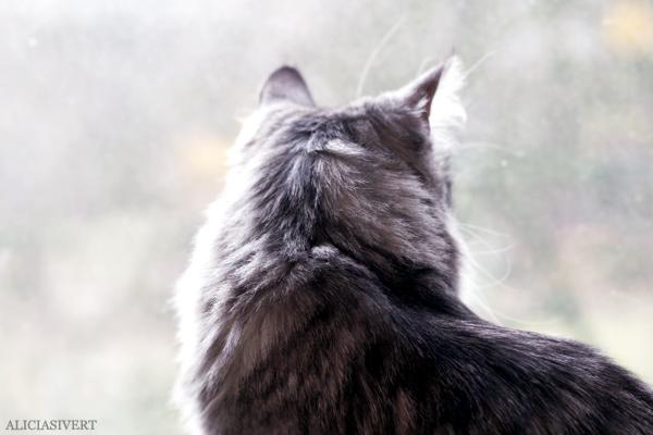 aliciasivert, alicia sivert, alicia sivertsson, vifslan, katter, katt, cat, cats, sibirisk katt, skeppskatt