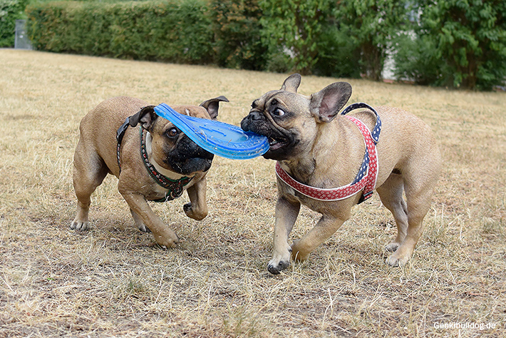 Hundefrisbee