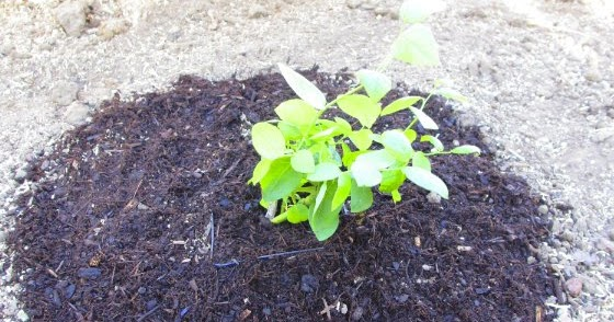 the ambitious seed planting a blueberry bush from wholefoods