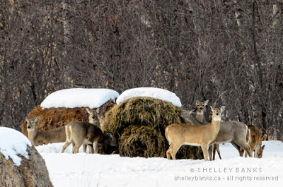 A cluster of seven (?) deer, at the hay bale; photo © Shelley Banks; all rights reserved