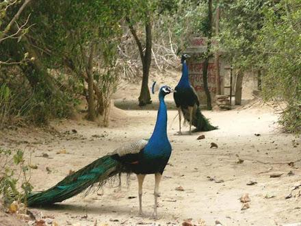 burung merak cantik @ Digaleri.com