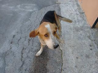Ο σκυλάκος αυτός κυκλοφορεί στην Αλίαρτο, στα στενά πάνω από τον κεντρικό δρόμο από την είσοδο από Λιβαδειά