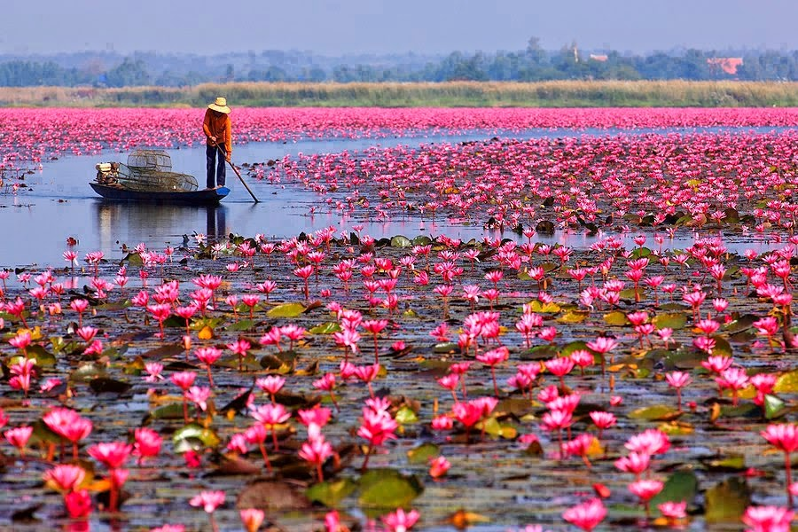 Le lac aux lotus rouges d'Udon Thani