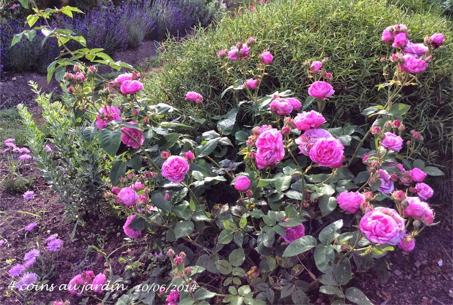4 coins au jardin rosier louise odier l 39 incorrigible. Black Bedroom Furniture Sets. Home Design Ideas