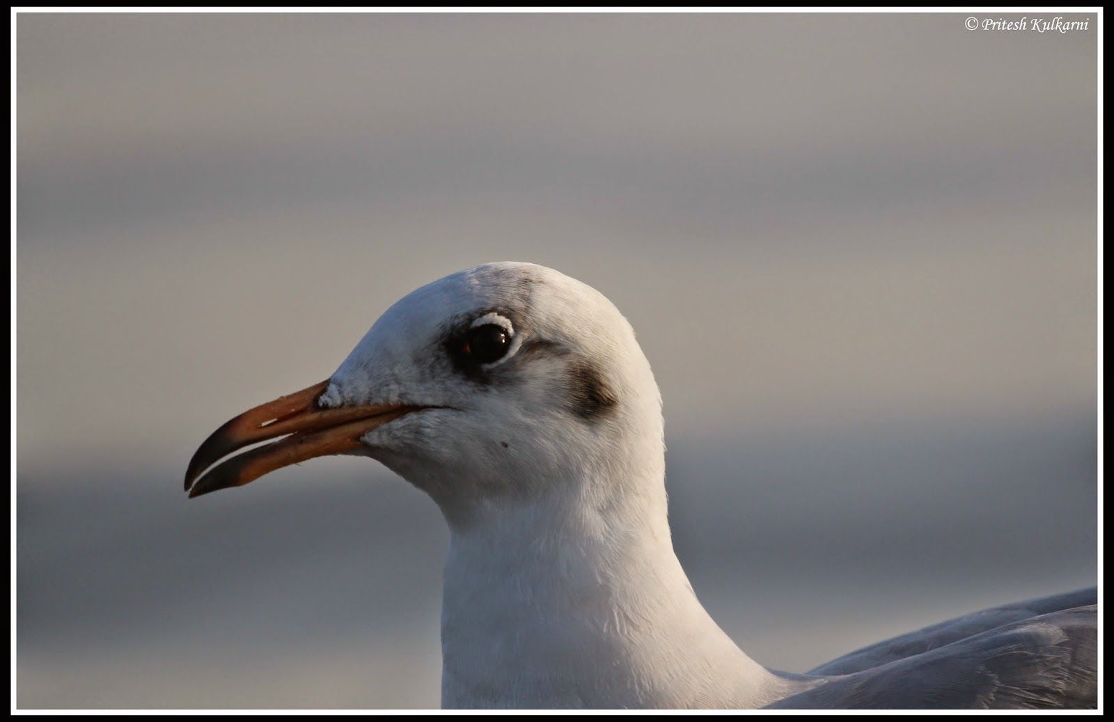 Sea gull close up