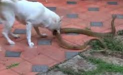 Dog Vs Snake – The final fight video