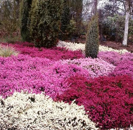 Il giardino sfumato erica in giardino for Giardino invernale