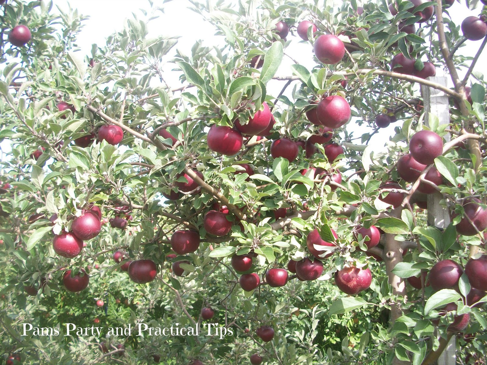 Pams party practical tips this week 39 s party theme is for Where can i go apple picking near me