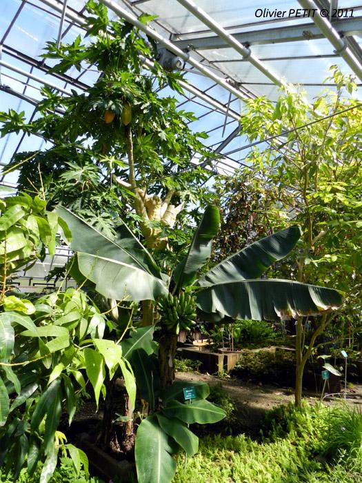 VILLERS-LES-NANCY (54) - Les serres du jardin botanique du Montet-Bananier d'Asie et papayer
