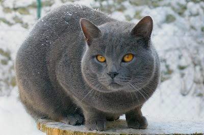 Foto Kucing Chartreux